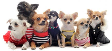 SF SPCA is tackling Chihuahua overpopulation head on