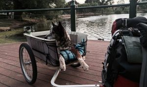 Old Dog Joins His Human On One Last Grand Adventure