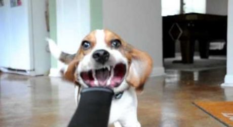 Beagle Vs. Blower [VIDEO]