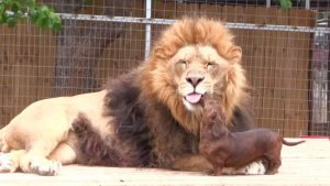 Dachshund Pups Befriend Lonely Lion [VIDEO]