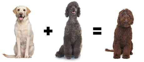 In Certain Circles Of Canine Culture Part Poodle Is Considered De Rigeur Take The Labradoodle Goldendoodle And Union Between Two