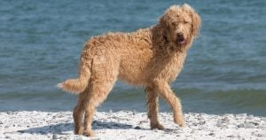 Eight Poodle dog mixes you may not know about