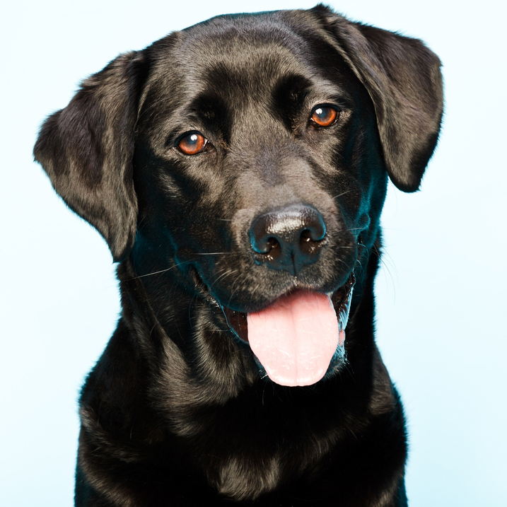 Black lab profile picture 12