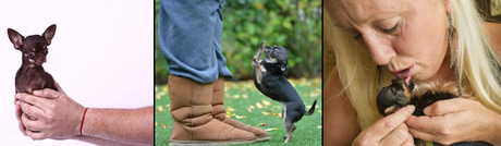 """Cutest Dog In The World Guinness 2013 guinness crowns new """"world's smallest dog"""" - dogtime"""