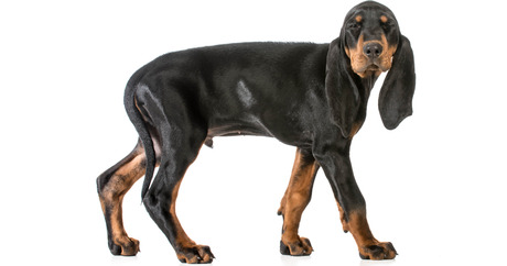 8. Coonhound