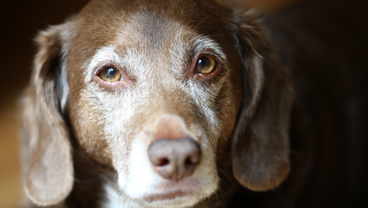 Old brown dog with white around snout and eyes looks at camera