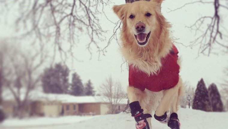 Golden retriever wearing jacket and boots running towards the camera in snow, home front yard, houses and tree in the background.