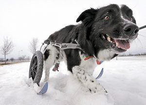 Disabled Border Collie gets wheelchair with skis to get around in the snow