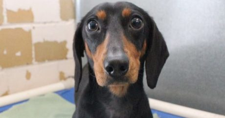 Dachshund saved from fast-food dumpster
