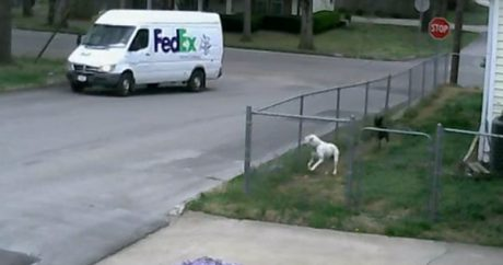 Dogs and the FedEx delivery truck