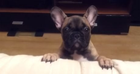 French Bulldog is unhappy
