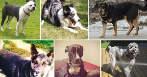 Canadian dogwalker could face charges for the deaths of 6 dogs