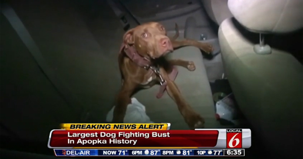 17 Dogs Rescued 26 People Arrested In Florida Dogfighting