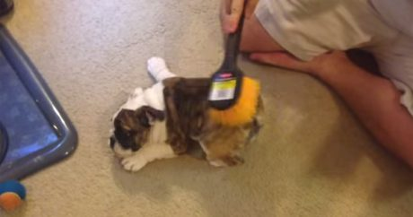 Puppy gets a brushing