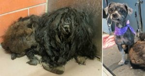Rescued dog transforms after 2 pounds of matted fur shaved