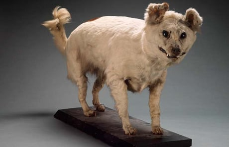 Ten Notable Extinct Dog Breeds Dogtime