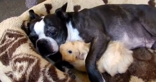 Do Guinea Pigs Get Along With Dogs