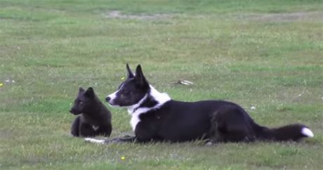 Dog And Fox Are Best Friends [VIDEO]