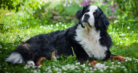 Top 10 dog breeds with the shortest lifespan - Dogtime American Water Spaniel Dogtime