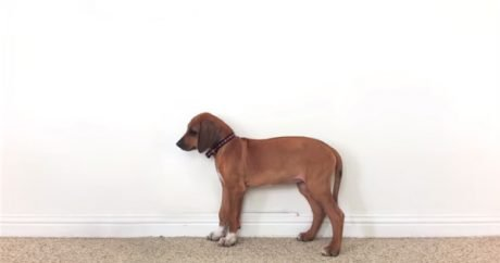 Rhodesian Ridgeback: From 2 months to 3 years in 23 seconds