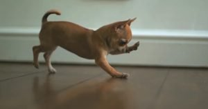 Adorable baby chihuahua playing with bubbles