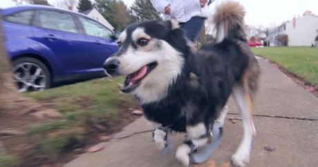 Derby The Dog Gets New 3D Printer Prosthetic Legs