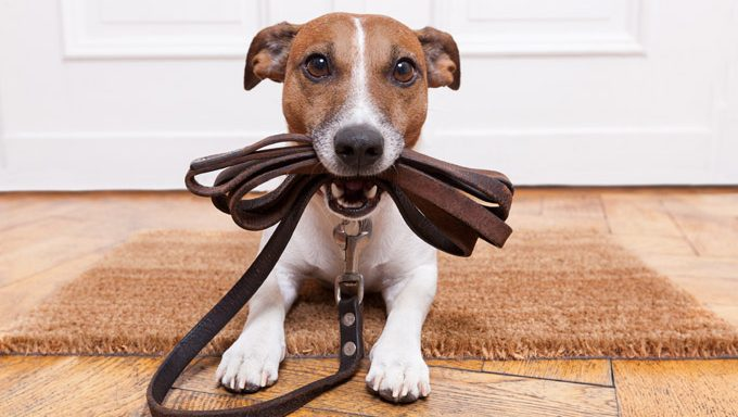 jack russell with leash in mouth