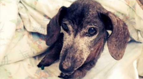 Heartbreaking Story Of Elderly Dachshund Abandoned At Shelter: Otto's Story – UPDATE