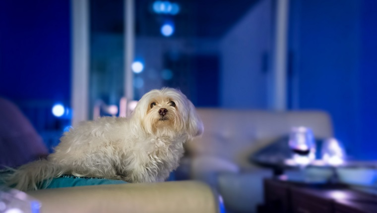 A white maltese dog on a white couch in a blue living room.