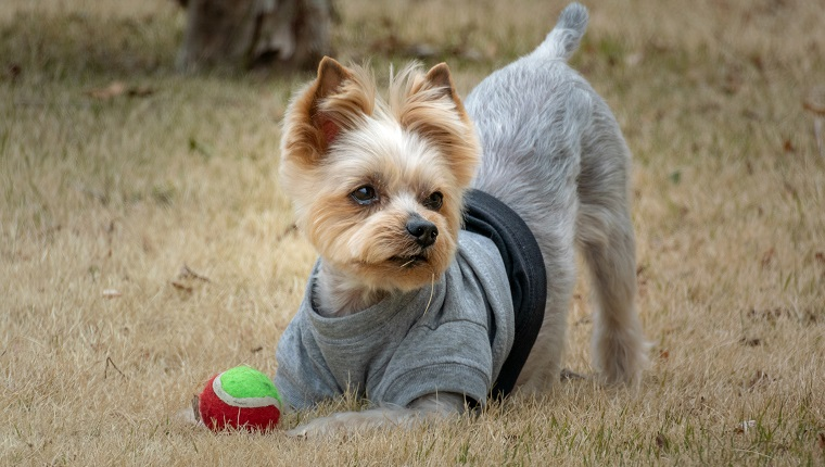 Pet dog Yorkshire Terrier