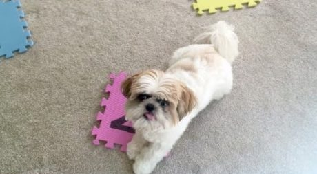 Cooper May Be The Smartest Shih Tzu In The World