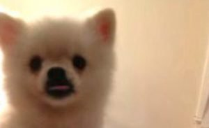 Roux The Pomeranian Has The Most Hilarious Sneeze Ever