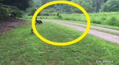 Yorkie Saves Owner From Bigfoot [VIDEO]