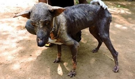 Dog Dying From Mange Has An Incredible Transformation