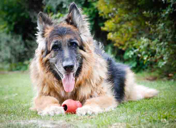 Old German Shepher Dog, gray in the face lays in the grass smiling.