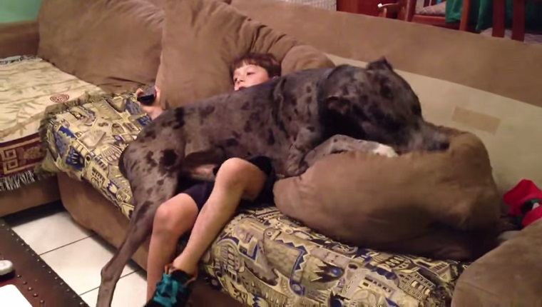7 Great Danes Who Think They Are Lap Dogs Dogtime : great dane lap dog from dogtime.com size 760 x 430 jpeg 89kB