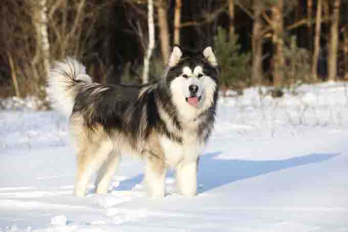 How The Malamute Became Alaska's Official State Dog