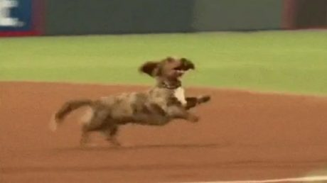 Dachshund Runs Free, Thinks He's A Baseball Player