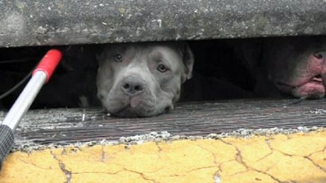 3 Pit Bulls Found In Florida Sewer [VIDEO]