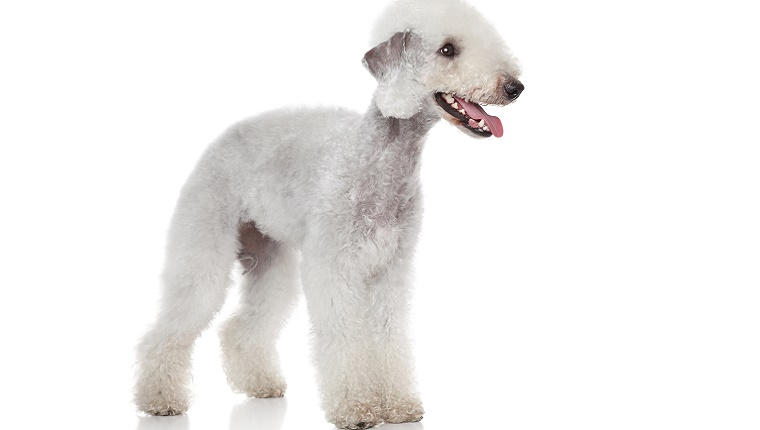 A white Bedlington Terrier stands against a white background.