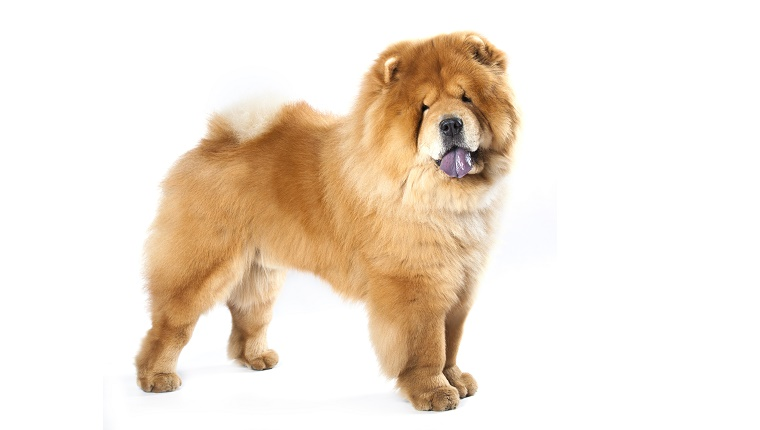 A Chow Chow stands with his blueish tongue hanging out against a white background.