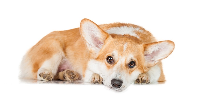 A Welsh Pembroke Corgi lies in front of a white background.