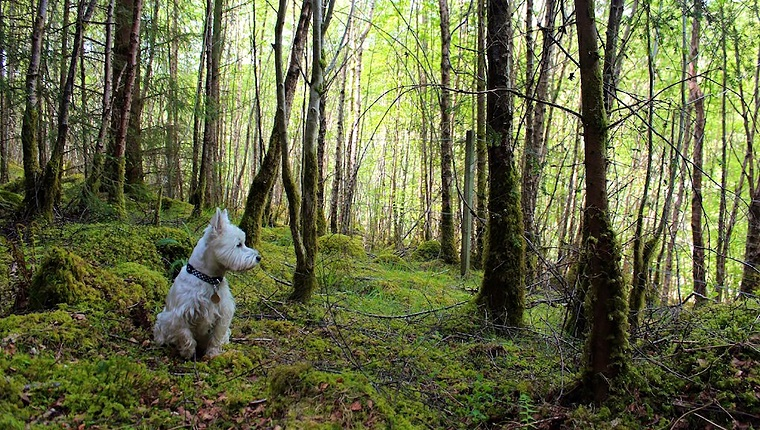 Lael Forest, Ullapool, Scotland, UK: Archie the west highland terrier enjoying a stop over root about in Lael Forest.