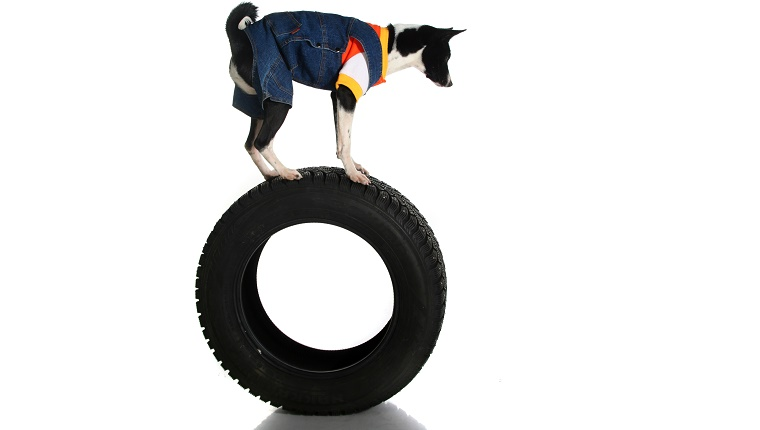 A dog with blue overalls and a shirt balances on top of a tire.