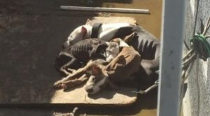 Viral Image Saves Emaciated Pit Bull Mama Dog And Her Puppies