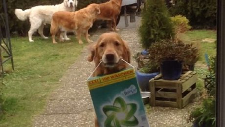 7 Golden Retrievers Who Love Doing Chores
