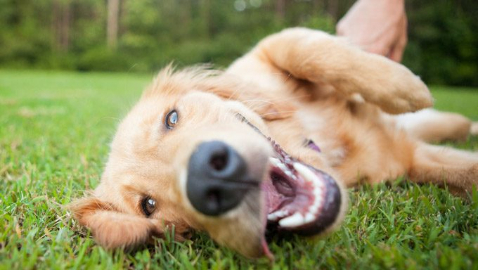 golden retriever lying on grass