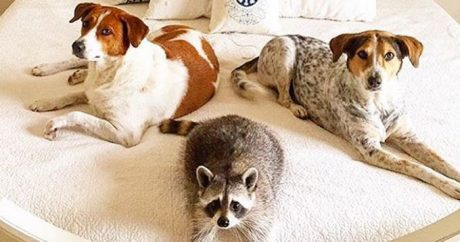Dogs & Raccoon Are One Big Happy Rescue Family [PICTURES]