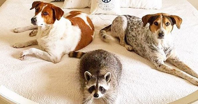 Dogs Amp Raccoon Are One Big Happy Rescue Family Pictures