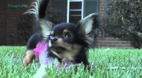 BeeBee The Chihuahua: Amazing Wheelchair Dog! [VIDEO]